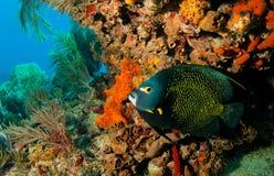 在糖浆礁石的法国神仙鱼 免版税库存图片