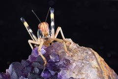 在紫晶片断的沙漠蝗虫  库存照片