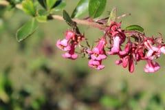 在紫红色的钟形曲线的花的蜂 免版税图库摄影