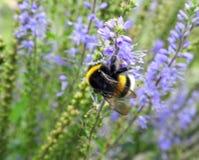 在紫罗兰色花,立陶宛的美丽的土蜂 免版税图库摄影