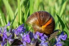 在紫罗兰色草甸花,宏观照片的小蜗牛壳 免版税库存照片