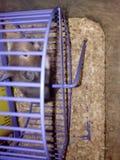在紫罗兰色轮子的黑仓鼠 库存图片