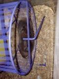 在紫罗兰色轮子的黑仓鼠 免版税库存照片