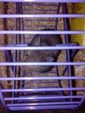 在紫罗兰色轮子的黑仓鼠 图库摄影