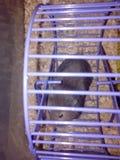 在紫罗兰色轮子的黑仓鼠 库存照片