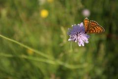 在紫罗兰色野生矢车菊的蝴蝶在绿草 免版税库存图片
