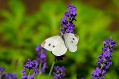 在紫罗兰色levander花的大黄色蝴蝶 免版税库存照片