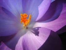 在紫罗兰里面的开花番红花 免版税库存图片
