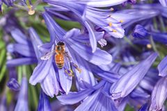 在紫色爱情花花的蜂蜜蜂 免版税图库摄影