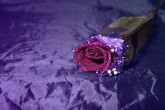 在紫色背景的唯一紫色玫瑰 库存照片