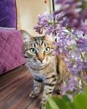 在紫色背景的虎斑猫与丁香2019年 免版税库存图片