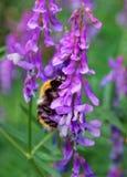 在紫色花的土蜂 库存图片