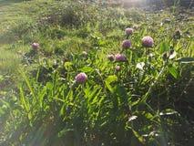 在紫色花的日出 库存照片