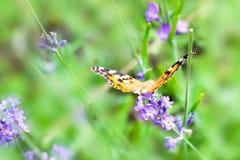 在紫色花的橙色和黑蝴蝶 图库摄影