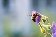 在紫色花的蜂在阳光下 库存照片