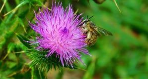 在紫色花的蜜蜂 免版税库存照片