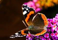 在紫色花的蝴蝶 库存照片