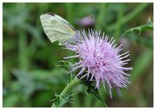 在紫色花的蝴蝶 库存图片