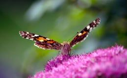 在紫色花的被绘的夫人蝴蝶 库存图片
