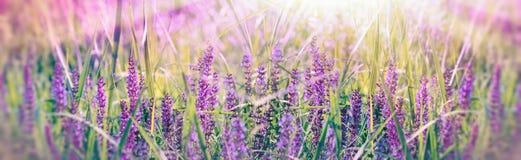 在紫色花的软和选择聚焦在春天草甸 免版税库存图片