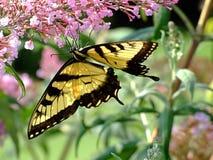 在紫色花的Swallowtail蝴蝶 库存照片