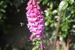 在紫色花附近的土蜂飞行 免版税库存照片