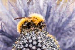 在紫色花-侧视图的土蜂工作的牧群 免版税图库摄影