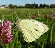 在紫色野花的小粉蝶蝴蝶,在镇附近的草甸 免版税图库摄影