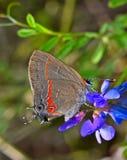 在紫色野花的红被结合的翅上有细纹的蝶蝴蝶 免版税图库摄影