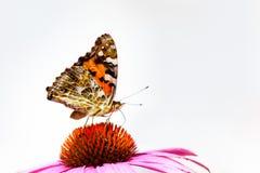 在紫色锥体花的被绘的夫人蝴蝶 免版税图库摄影
