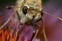 在紫色锥体花的飞蛾 免版税库存照片