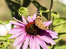 在紫色coneflower的被绘的夫人蝴蝶 免版税图库摄影