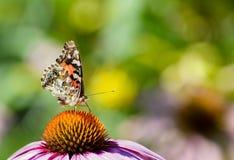 在紫色coneflower的被绘的夫人蝴蝶 库存图片