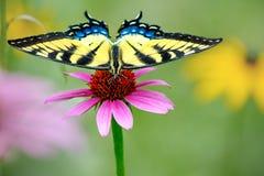 在紫色coneflower的黄色东部老虎swallowtail蝴蝶 免版税库存照片