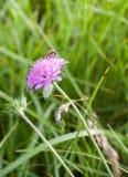 在紫色Scabiosa花的长有角的蜂 免版税库存图片