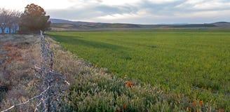 在紫花苜蓿领域的加利福尼亚金黄鸦片在南加州美国高沙漠  免版税库存照片