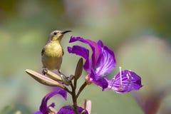 在紫荆花饮用的花蜂蜜的Sunbird 库存照片