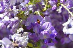在紫藤的蜂 库存图片