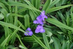 在紫露草属leafage的4朵紫罗兰色花  图库摄影