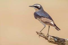 在繁殖的全身羽毛的公北麦翁之类的鸣禽 免版税库存图片