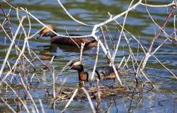 在繁殖的全身羽毛的有角的格里布Podiceps auritus在俄罗斯的欧洲部分的湖 免版税库存图片