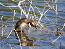 在繁殖的全身羽毛的有角的格里布Podiceps auritus在俄罗斯的欧洲部分的湖 库存照片