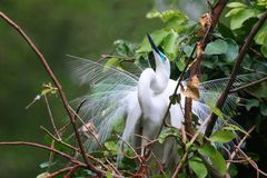 在繁殖的全身羽毛的白鹭 库存照片