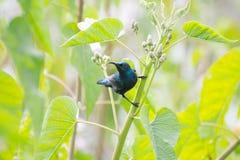 在繁殖的全身羽毛的紫色sunbird男性 免版税图库摄影