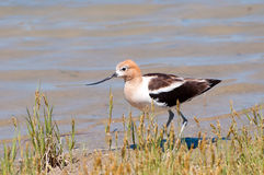 在繁殖的全身羽毛,俄勒冈,美国的美国长嘴上弯的长脚鸟 免版税库存照片