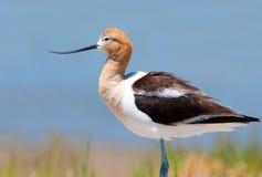 在繁殖的全身羽毛,俄勒冈,美国的美国长嘴上弯的长脚鸟 库存图片