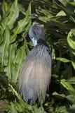在繁殖的季节期间的Tricolored苍鹭与蓝色和铁锈羽毛羽毛 免版税库存照片