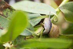 在繁殖的季节的美丽的蜗牛 库存图片