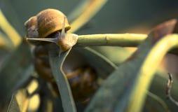 在繁殖的季节的美丽的蜗牛 免版税库存照片