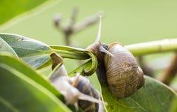 在繁殖的季节的美丽的蜗牛 图库摄影
